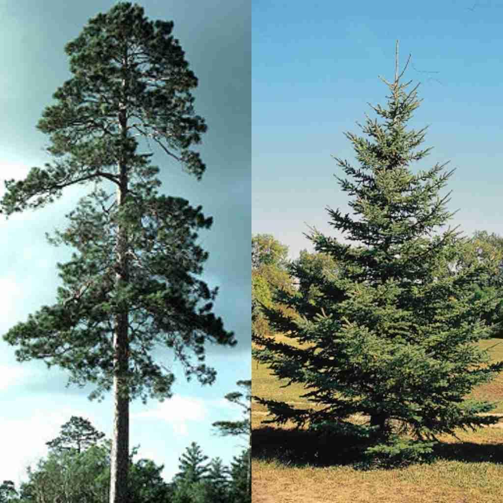 pino e abete