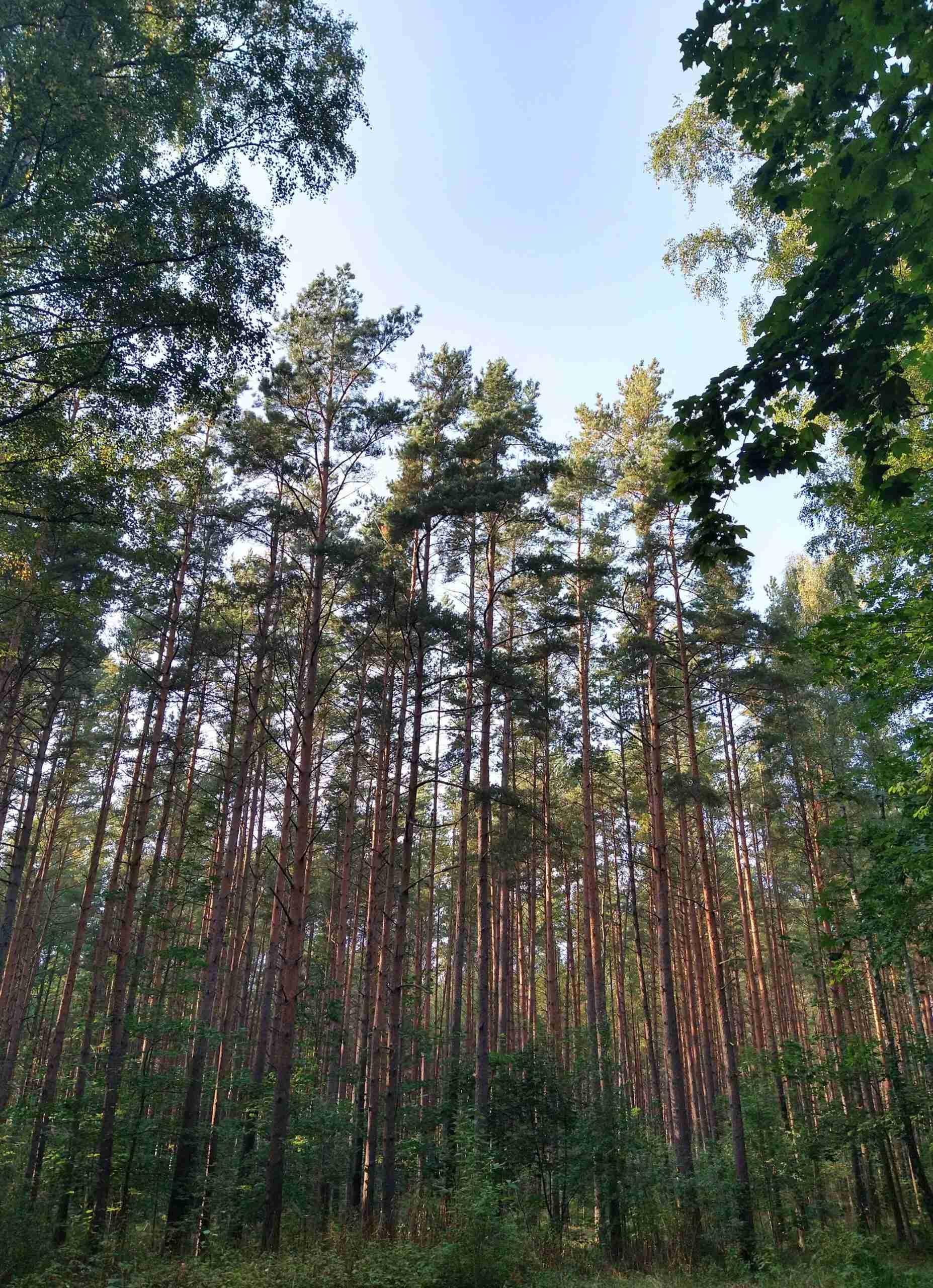 i boschi di pini